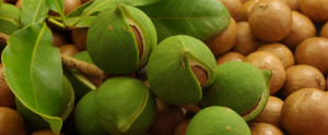 koala-farms-macadamia-nuts